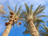 image of riyadh  - Palm garden in the Riyadh city - JPG