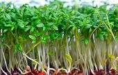 Growing salad mustard cress against white