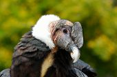 Andean Condor (Vultur gryphus) close-up portrait