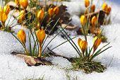 Yellow Crocuses, Spring Awakening