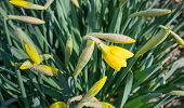 Yellow Budding And Blooming Narcissus Plants