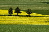 Three trees in rapeseed field