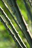 Close up of cassava stems