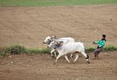 AMARAPURA, MYANMAR - DEC 10, 2013: Plowing rice fields with an ox team. The farmers plows the land a