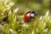 Ladybug Macro On A Fluffy Moss Spring.