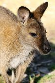 image of wallaby  - The Bennett wallaby is one of Tasmania - JPG