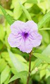 Ruellia Tuberosa Violet Flower