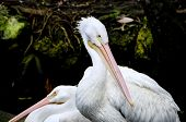 Two Pink Backed Pelicans