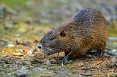 Portrait Of A Water Rat