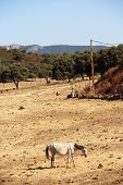 Andalusian Horse On Pasture