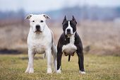 picture of american staffordshire terrier  - a couple of american staffordshire terrier dogs - JPG