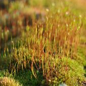 Moss With  Spores