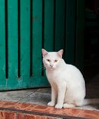 White Cat Sitting On Doorstep At The Entrance To The House
