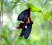 Two Mating Butterflies