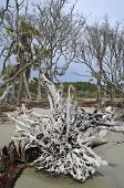 Erosion Killed Trees At Hunting Island, Sc Usa