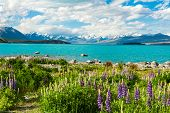 Beautiful incredibly blue lake Tekapo with blooming lupins on the shore and mountains, Southern Alps