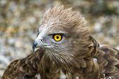 Toed Eagle. Circaetus Gallicus