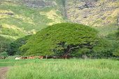 Big Tree Near The Mountain. Hawaii