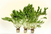 Fresh Wild Rocket Hydroponic On White Background