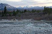 foto of caribou  - A lone caribou wanders past a river in Denali National Park - JPG
