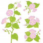 picture of ipomoea  - Lilac flowers ipomoea with green leaves - JPG
