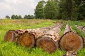 Cut Tree Trunks In Field