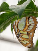 Upside Down Green And Brown Butterfly