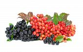 stock photo of chokeberry  - chokeberry and viburnum berries closeup on a white background - JPG