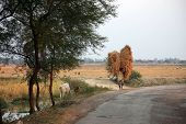 BAIDYAPUR, INDIA - DEC 02 : An unidentified farmer carries rice from the farm home on Dec 02, 2012 i