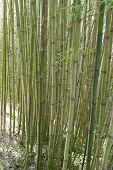 Tall Bamboo Stalks