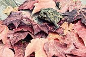 Toad In The Fall Leaves - Retro, Faded