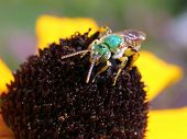 picture of black-eyed susans  - A Metallic Green Bee on a Black - JPG