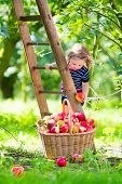 picture of country girl  - Adorable little toddler girl with curly hair wearing a blue dress climbing a ladder picking fresh apples in a beautiful fruit garden on a sunny autumn day - JPG