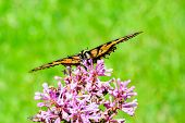 Eastern Tiger Swallowtail On Flower - Front View