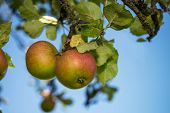 Apples At Tree