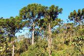 Araucaria Angustifolia ( Brazilian Pine) In Forest