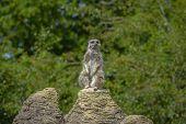 Meerkat Portrait Standing On A Rock