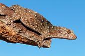 Bibron gecko (Pachydactylus bibronii) on a branch, Kalahari desert, South Africa