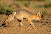 Cape fox (Vulpes chama) outside its den, Kalahari desert, South Africa