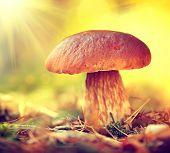 Cep Mushroom Growing in Autumn Forest. Boletus. Mushroom picking