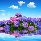 hydrangea flowers on blue sky