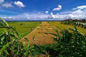 paddy rice field bali indonesia