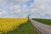 stock photo of rape-field  - Rape field at a small country road at springtime - JPG