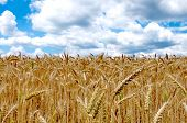 Wheat Field With Cloudy Blue Sky