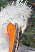 Details On Dalmatian Pelican Head