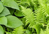 Hosta And Fern Leave