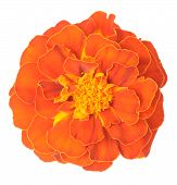 Orange African Marigold