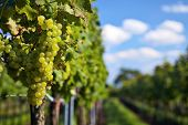 Branch Of White Wine Grapes