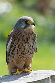 Kestrel, Bird Of Prey