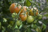 Orange And Green Tomatoes